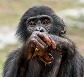 Close up Portrait of a juvenile bonobo. Cub of a Chimpanzee bonobo ( Pan paniscus). Stock Photos