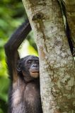 The close-up portrait of juvenile Bonobo  Pan paniscus on the tree in natural habitat. Green natural background. Stock Images