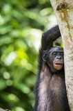 The close-up portrait of juvenile Bonobo  Pan paniscus on the tree in natural habitat. Green natural background. Stock Photography