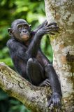 The close-up portrait of juvenile Bonobo  Pan paniscus on the tree in natural habitat. Green natural background. Stock Photo