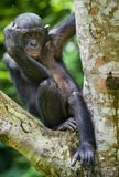 The close-up portrait of juvenile Bonobo  Pan paniscus on the tree in natural habitat. Green natural background. Royalty Free Stock Photo