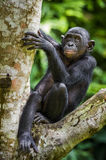 The close-up portrait of juvenile Bonobo  Pan paniscus on the tree in natural habitat. Green natural background. The close-up portrait of juvenile Bonobo on the Stock Image