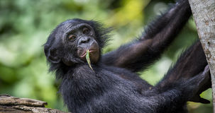 The close-up portrait of juvenile Bonobo  Pan paniscus. The close-up portrait of juvenile Bonobo on the tree in natural habitat. Green natural background. The Stock Image