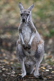 Close-up portrait of a Kangaroo Royalty Free Stock Photography