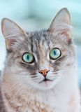 Close-up portrait of a kitten with big green eyes Royalty Free Stock Photography