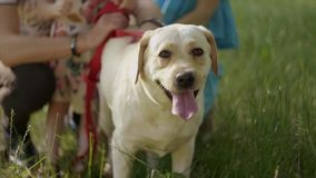 4K Close up. A portrait of a labrador dog hold by children stock video