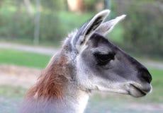 Lama. Close-up portrait of a Lama Royalty Free Stock Image