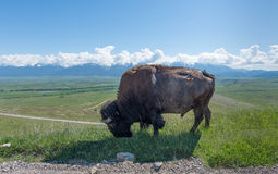 Close up Portrait Large Plains Bull Bison Grazing on Dirt Road Royalty Free Stock Image