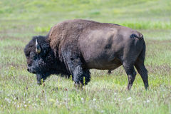 Close up Portrait Large Plains Bull Bison Royalty Free Stock Image