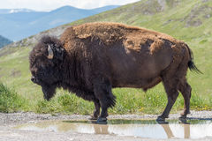 Close up Portrait Large Plains Bull Bison Standing on Dirt Road Royalty Free Stock Image