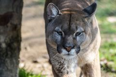 Close-up portrait of a large puma royalty free stock image