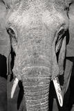 Close up portrait of large wild african elephant Stock Images
