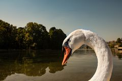 Close-up portrait of a larger white swan. In the background a lake with trees reflected in the water, horizontal image stock photos