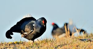 Close up Portrait of a lekking black grouse (Tetrao tetrix) Sunrise . Royalty Free Stock Photos