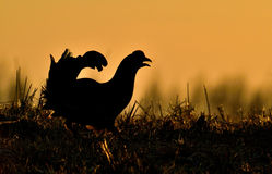 Close up Portrait of a lekking black grouse (Tetrao tetrix) Sunrise Royalty Free Stock Images