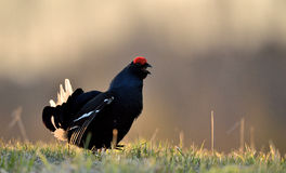 Close up Portrait of a lekking black grouse (Tetrao tetrix) Sunrise Stock Photography