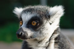 Close-up portrait of lemur catta Royalty Free Stock Photos