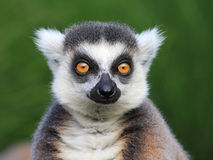 Close-up portrait of lemur catta Royalty Free Stock Photography