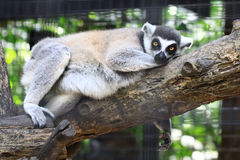 Close-up portrait of lemur catta Stock Photos