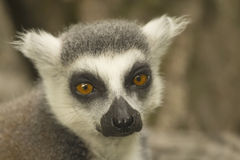 Close-up portrait of lemur catta. Royalty Free Stock Photos