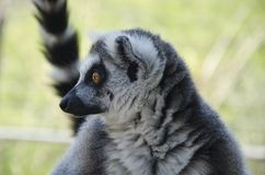 Close-up portrait of lemur catta Royalty Free Stock Photos