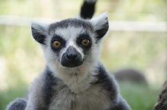 Close-up portrait of lemur catta Royalty Free Stock Photo