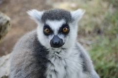 Close-up portrait of lemur catta Royalty Free Stock Images