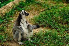 Close-up portrait of lemur catta ring tailed lemur at the khao royalty free stock images