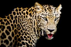 Close up portrait of leopard with intense eyes Royalty Free Stock Images