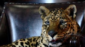 Close up portrait of leopard stock video footage