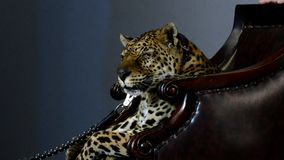 Close up portrait of leopard stock footage