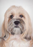Close up portrait of lhasa apso dog Stock Images