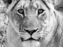 Close Up Portrait Of Lion Royalty Free Stock Photo