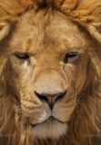 Close up portrait of a lion. Royalty Free Stock Photography