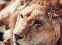 Close-up portrait of a lion in nature Stock Photos