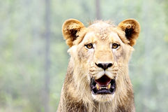 Close-up portrait of lion Royalty Free Stock Images