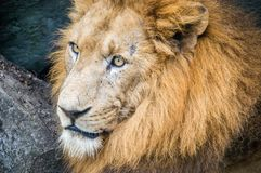 Close up portrait of a lions head stock images