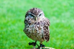 Close up portrait of little Owl Stock Image