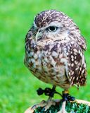 Close up portrait of little Owl Royalty Free Stock Image