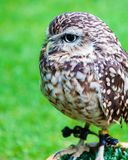 Close up portrait of little Owl Royalty Free Stock Images