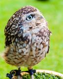 Close up portrait of little Owl Stock Photography