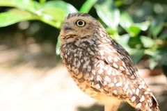 Portrait of a little owl. Close up portrait of a little owl perched on the ground Stock Photos