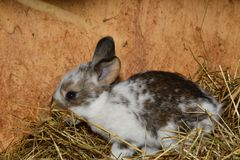 Close up portrait of little rabbit cutie watching from his hay nest. Rabbit mutter and little cutie watching around his hay nest close up portrait detail animal Royalty Free Stock Images