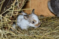 Close up portrait of little rabbit cutie watching from his hay nest. Rabbit mutter and little cutie watching around his hay nest close up portrait detail animal Stock Photography