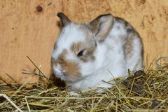 Close up portrait of little rabbit cutie watching from his hay nest. Rabbit mutter and little cutie watching around his hay nest close up portrait detail animal Stock Photos