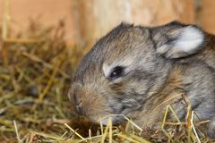 Close up portrait of little rabbit cutie watching from his hay nest. Rabbit mutter and little cutie watching around his hay nest close up portrait detail animal Royalty Free Stock Image