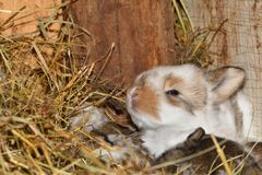 Close up portrait of little rabbit cutie watching from his hay nest. Rabbit mutter and little cutie watching around his hay nest close up portrait detail animal Royalty Free Stock Photo