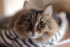 Close up portrait of long-haired Siberian cat of tebby colour. Blur background, indoors, impressive cat look. Copy space. Animal i stock image