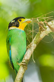 Close up portrait of Long-tailed broadbill Royalty Free Stock Photos