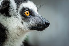 Portrait of Ring-tailed Lemur. Close up portrait of Long-Tailed Lemur face in open zoo royalty free stock photo